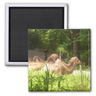100_1373 - Camelo - ímã Ima