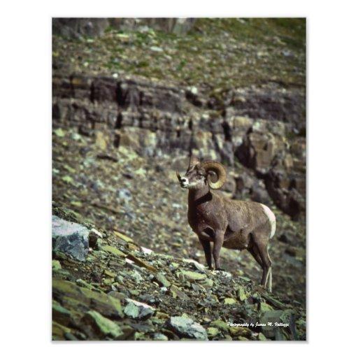 11 x 14 carneiros de Bighorn #1 de Montana Artes De Fotos
