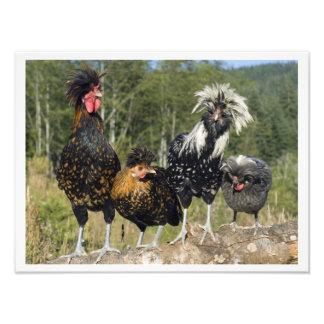 16 galinhas X12 quatro polonesas Impressão Fotográficas