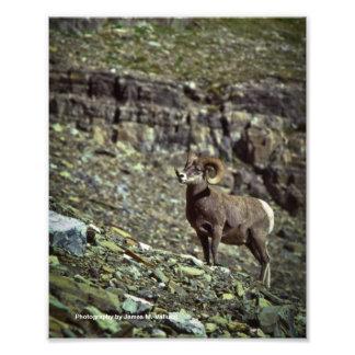 8 x 10 carneiros de Bighorn #2 de Montana Fotografia