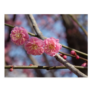 A ameixa floresce cartão