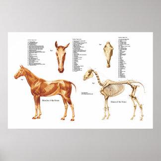 A anatomia do cavalo desossa e Muscles o poster