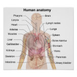 A anatomia humana posteres