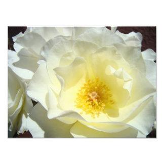 A arte da fotografia da flor do rosa branco imprim