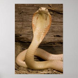 A cobra de Monacled do albino, kaouthia do Naja, b Pôsteres