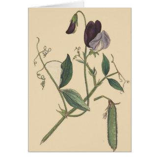 A ervilha doce floresce o cartão