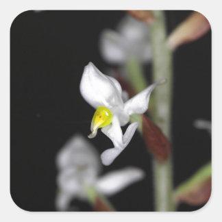 A flor da orquídea Ludisia descolora-se Adesivo Quadrado