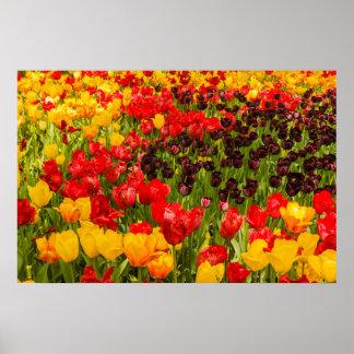 a florescência das tulipas no papel de poster