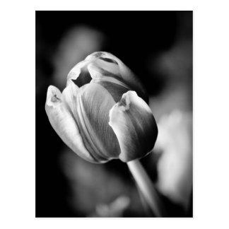 A foto intrigante da tulipa faz um cartão cartão postal