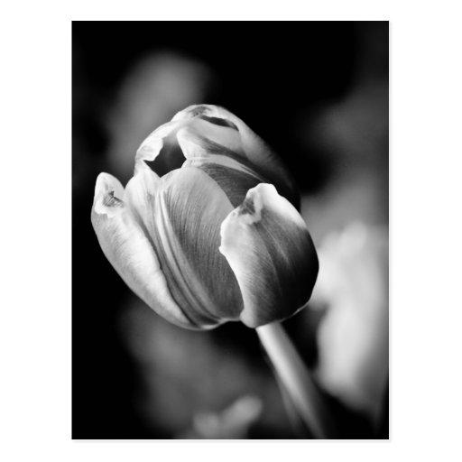 A foto intrigante da tulipa faz um cartão emociona cartões postais