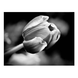 A foto intrigante da tulipa faz um cartão emociona cartoes postais