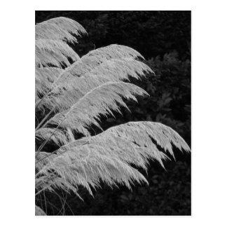 A grama de Pampas floresce o cartão