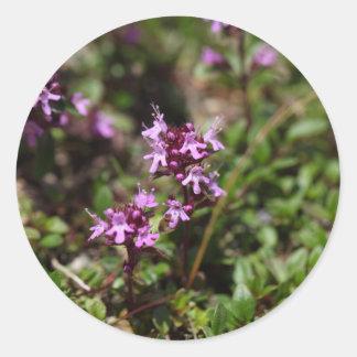 A mãe de tomilho floresce (o praecox do Thymus) Adesivo Redondo