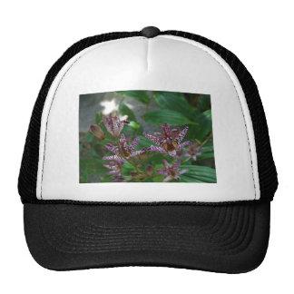A orquídea listrada branca cor-de-rosa roxa gosta  boné