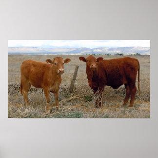 A vaca grande Eyes - gado vermelho - ocidental Impressão