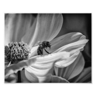Abelha na flor de Cosmo - impressão da foto