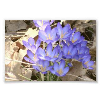 Açafrão azul artes de fotos