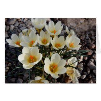 Açafrões amarelos e brancos do primavera no jardim cartão