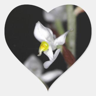 Adesivo Coração A flor da orquídea Ludisia descolora-se