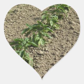 Adesivo Coração Plantas frescas da manjericão que crescem no campo