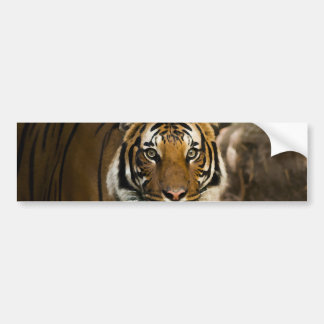 Adesivo De Para-choque Tigre Siberian