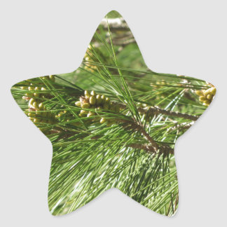 Adesivo Estrela Cones imaturos do homem ou do pólen do pinheiro