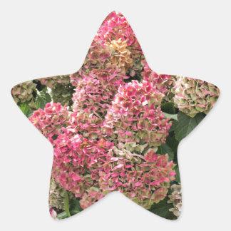 Adesivo Estrela Flores de um hydrangea do francês (macrophyl do