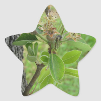 Adesivo Estrela Galho da árvore de pera com os botões no primavera