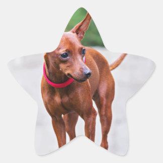 Adesivo Estrela Retrato do cão vermelho do pinscher diminuto