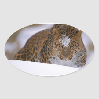 Adesivo Oval Pares raros de um leopardo de Amur sobre uma