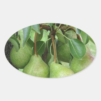 Adesivo Oval Peras verdes que penduram em uma árvore de pera