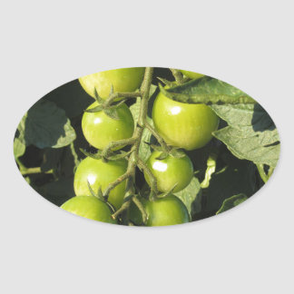 Adesivo Oval Tomates verdes que penduram na planta no jardim
