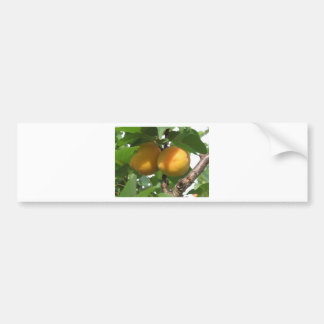 Adesivo Para Carro Abricós maduros que penduram na árvore. Toscânia,