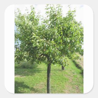 Adesivo Quadrado Árvore de pera com folhas do verde e frutas