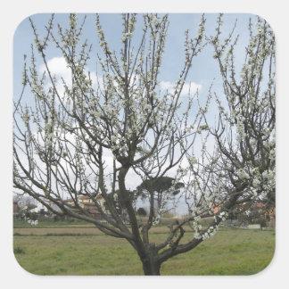 Adesivo Quadrado Árvore de pera de florescência no jardim Toscânia,