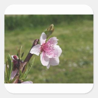 Adesivo Quadrado Árvore de pêssego de florescência contra o jardim