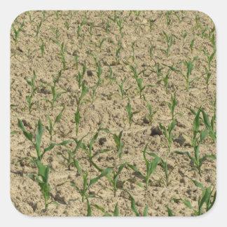 Adesivo Quadrado Campo do milho do milho verde na fase inicial