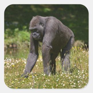 Adesivo Quadrado Chimpanzé na grama de florescência