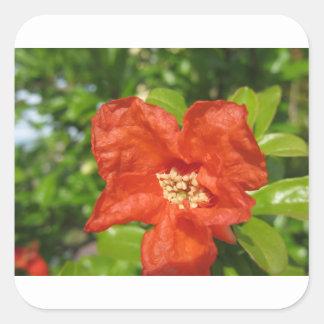 Adesivo Quadrado Close up da flor vermelha da romã