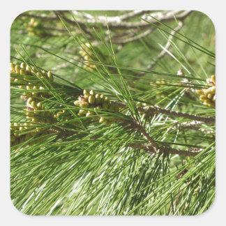 Adesivo Quadrado Cones imaturos do homem ou do pólen do pinheiro