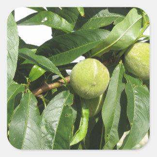 Adesivo Quadrado Dois pêssegos verdes unripe que penduram em uma