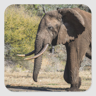 Adesivo Quadrado Elefante com presas longas