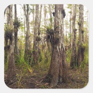 Adesivo Quadrado Epiphyte Bromeliad na floresta de Florida