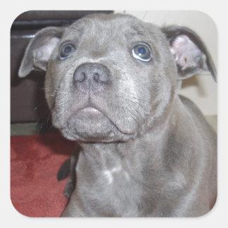 Adesivo Quadrado Filhote de cachorro azul de Staffordshire bull