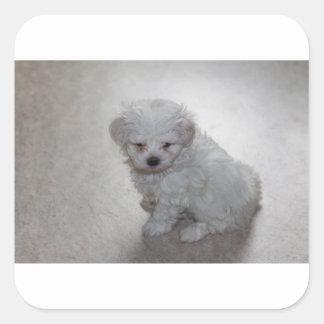 Adesivo Quadrado filhote de cachorro maltês
