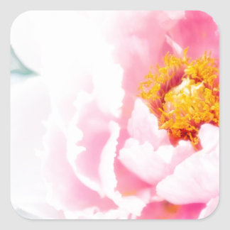 Adesivo Quadrado Flor cor-de-rosa chave alta da peônia