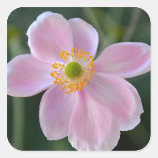 Adesivo Quadrado Flor japonesa cor-de-rosa da anêmona