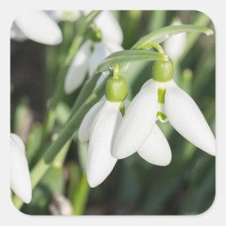 Adesivo Quadrado Flores de Snowdrops