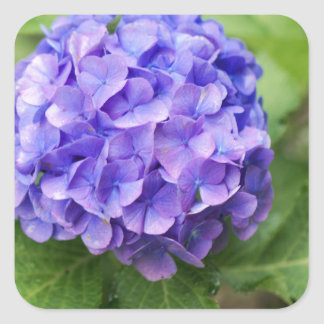 Adesivo Quadrado Flores de um hydrangea do francês (macrophyl do