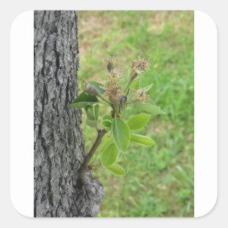 Adesivo Quadrado Galho da árvore de pera com os botões no primavera